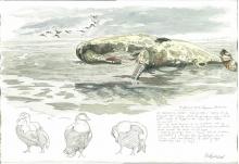 Brodde-Marco-Dead Spermwhale, Eiders and Oystercatchers, The Wadden Sea, Fanø, Denmark.jpg