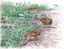Allen-Richard-Cornish-Cirl-Buntings.jpg