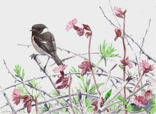 Allen-Richard-Summer-Stonechat.jpg