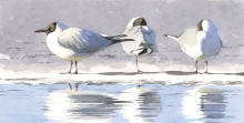 Gemma-Federico-Three-Black-headed-Gulls,-Finland.jpg