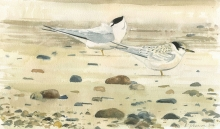 Johnson-Richard-Little-Tern's---Adult-and-Young.jpg