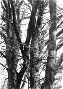 Tole-Kevin-Winter-Beech-Fagus-Silvatica-#14.jpg