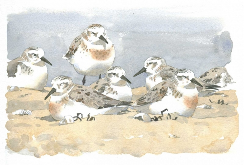 Dusen-Barry-van-Late-Summer-Sanderlings-II.jpg