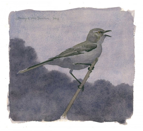 Dusen-Barry-van-Nightsong-N.-Mockingbird.jpg