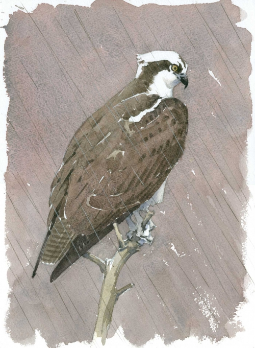 Dusen-Barry-van-Osprey-in-the-Rain.jpg