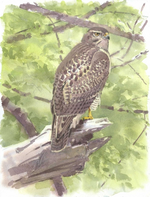 Dusen-Barry-van-Young-Redtail-at-Bolton-Flats.jpg