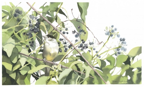 Gemma-Federico-Eurasian-Blackcap-(Sylvia-Atricapilla)-Perched-Among-The-Ivy.jpg