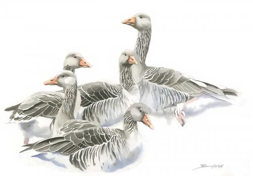 Gemma-Federico-Greylag-Geese.jpg