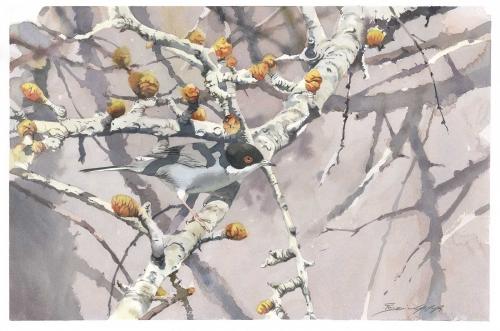 Gemma-Federico-Sardinian-Warbler-(Sylvia-Melanocephala)-Perched-On-Budding-Branches-Of-A-Wild-Pear.jpg