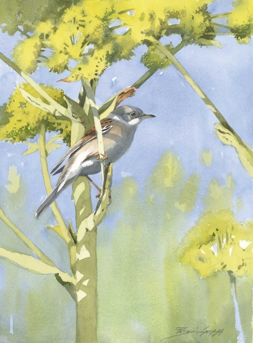 Gemma-Federico-Whitethroat.jpg