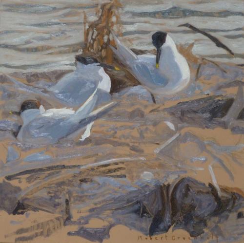 Greenhalf-Robert-Nesting-Sandwich-Terns.jpg