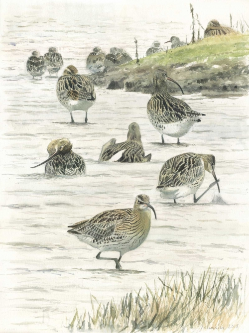 Johnson-Richard-Curlew-coming-to-bathe-Cley.jpg