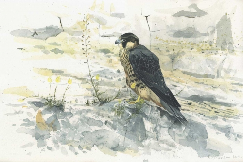 Johnson-Richard-Juvenile-Peregrine-in-the-chalk-pits.jpg
