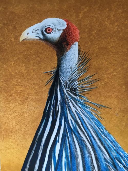 Lambie-John-Vulturine-Guinea-Fowl.jpg