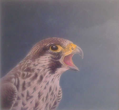 Parry-David-Young-Peregrine.jpg