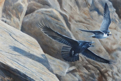 Proud-Alastair-Old-rivals-peregrine-and-raven.jpg