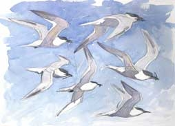 Allen-Richard-Sandwich-Tern-Studies.jpg