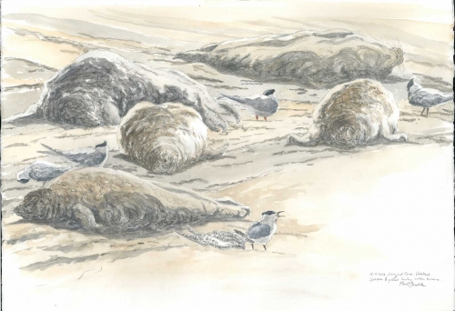 Brodde-Marco-Companionship.-Seals-&-terns.jpg