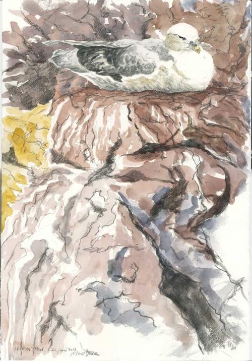 Brodde-Marco-Fulmar-incubating,-St.-Abbs.-Head.jpg