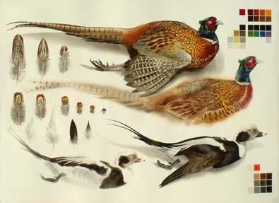 Woodhams-Ben-Dead-Pheasant-cock-and-Long-tailed-duck-drake-studies.-2017.-Watercolour,-1050-x-750mm.jpg
