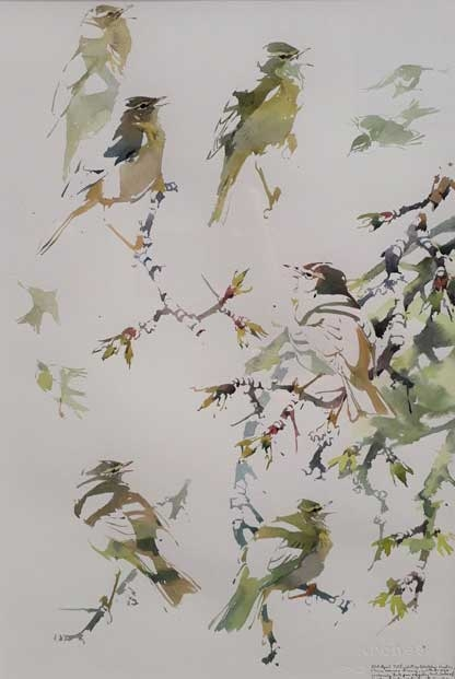 Woodhead-Darren-Willow-warbler-studies.jpg