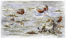 Brodde-Marco-Arctic Waders have arrived, Fano, the Wadden Sea.jpg