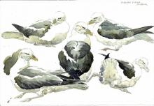 Brodde-Martin-Fulmars, field sketch, St Abb's Head.jpg