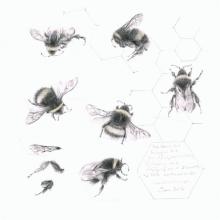 Crispin-Louisa-Study of a Bumble Bee 004.jpg