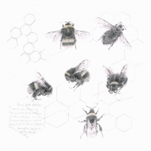 Crispin-Louisa-Study of a Bumble Bee 006.jpg