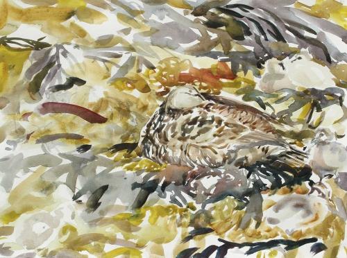 Wallbank-Chris-Eider-Duck-And-Ducklings,-6th-June.jpg