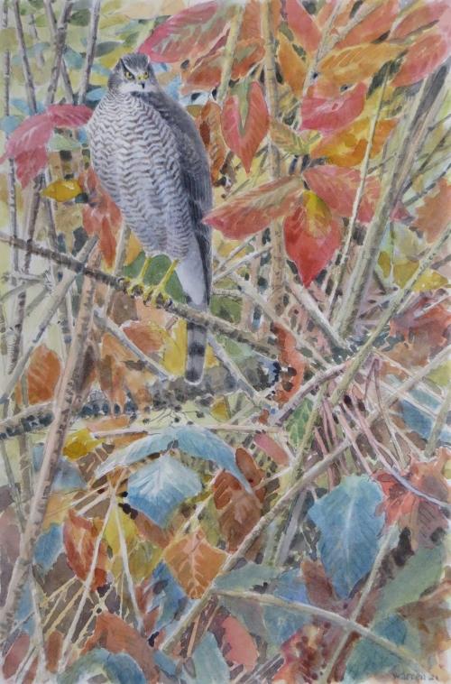 Warren-Michael-Sparrowhawk.jpg