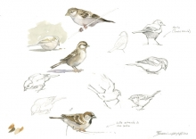 Gemma-Federico-House-Sparrows-and-Collared-Dove-sketches-diptych-(1).jpg
