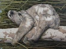 Turvey-Simon-Sloth with Young - Peru.jpg