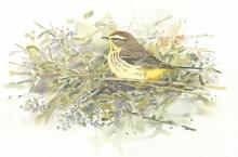 Van Dusen-Barry-Palm Warbler in Goldenrod.jpg