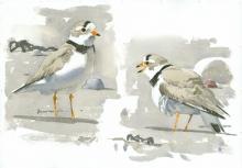 Van-Dusen-Barry-Piping-Plovers-Study-1.jpg