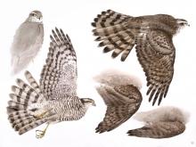 Woodhams-Ben-Dead-Sparrowhawk.jpg
