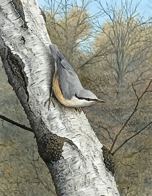 Turvey-Simon-Nuthatch.jpg