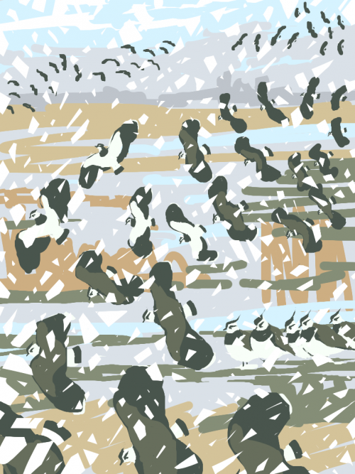 Ausden-Malcolm-Lapwings at Burwell Fen.png
