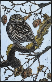 Jarvis-Richard-Crabby Little Owl.jpg