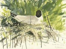 Johnson-Richard-Black-headed Gull field sketch.jpg
