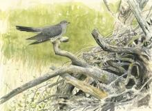 Johnson-Richard-Male Cuckoo - Wicken.jpg