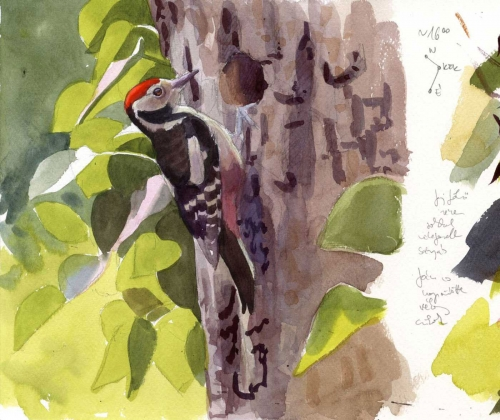 Kokay-Szabolcs-Middle-spotted-woodpecker-fieldsketch.jpg