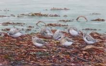 Sanderlings w:c.jpeg