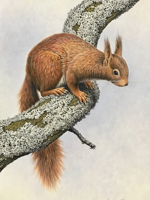 Simon-Turvey-Red-Squirrel.jpg