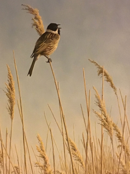 """Reed Bunting"" Oil Painting by Simon Turvey"