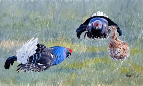 Szabolcs-Kókay-Displaying-balck-grouses.jpg