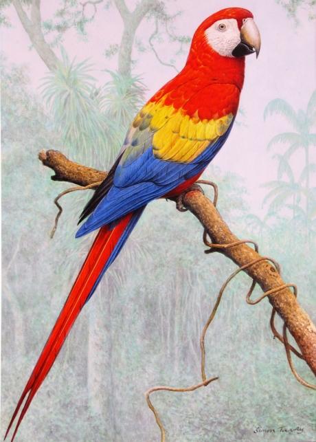 Simon Turvey, Scarlet Macaw Amazon