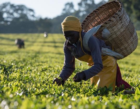 Tea harvest in Kenya